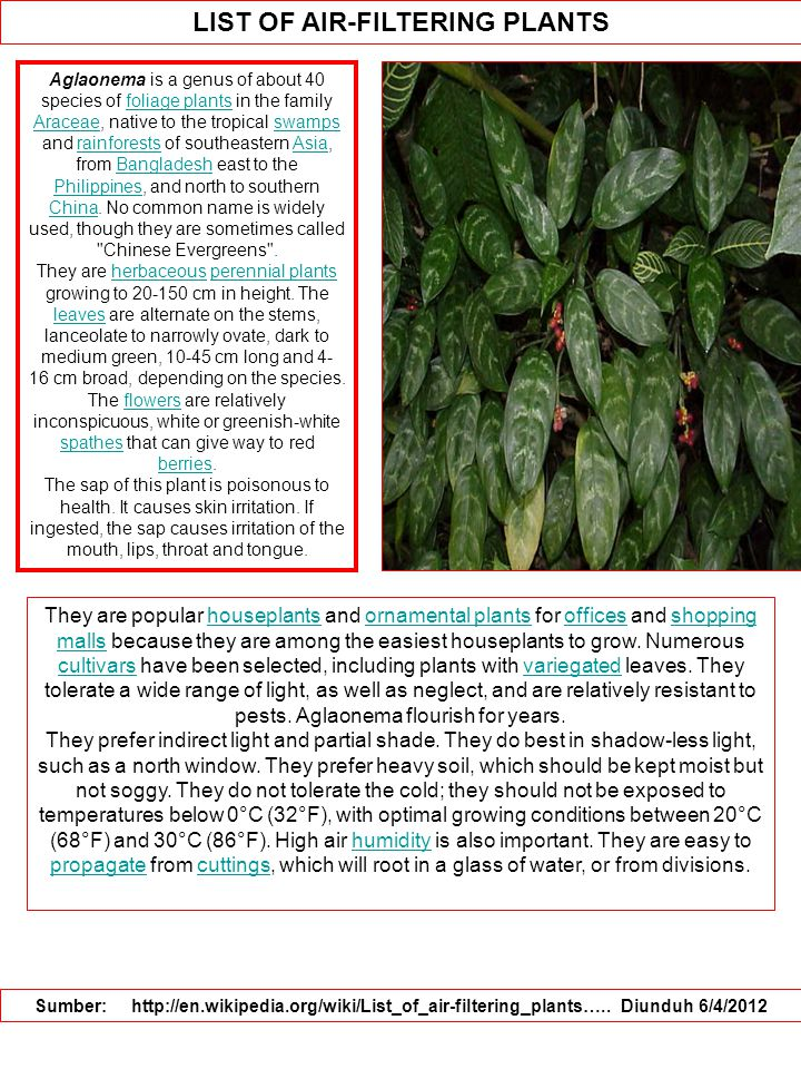 LIST OF AIR-FILTERING PLANTS Sumber: http://en.wikipedia.org/wiki/List_of_air-filtering_plants….. Diunduh 6/4/2012 Aglaonema is a genus of about 40 sp