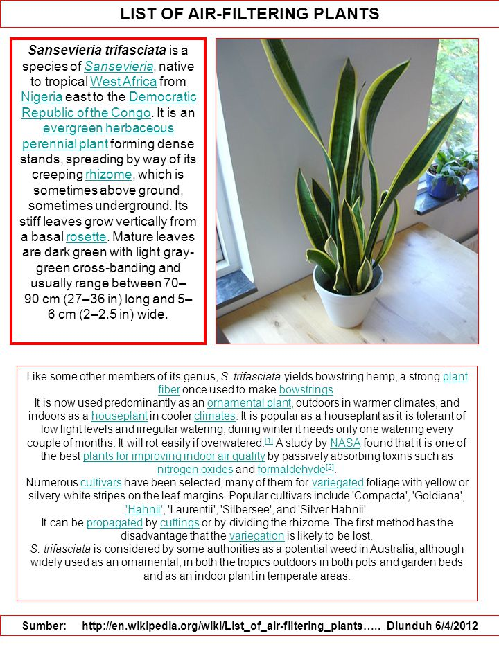 LIST OF AIR-FILTERING PLANTS Sumber: http://en.wikipedia.org/wiki/List_of_air-filtering_plants….. Diunduh 6/4/2012 Sansevieria trifasciata is a specie
