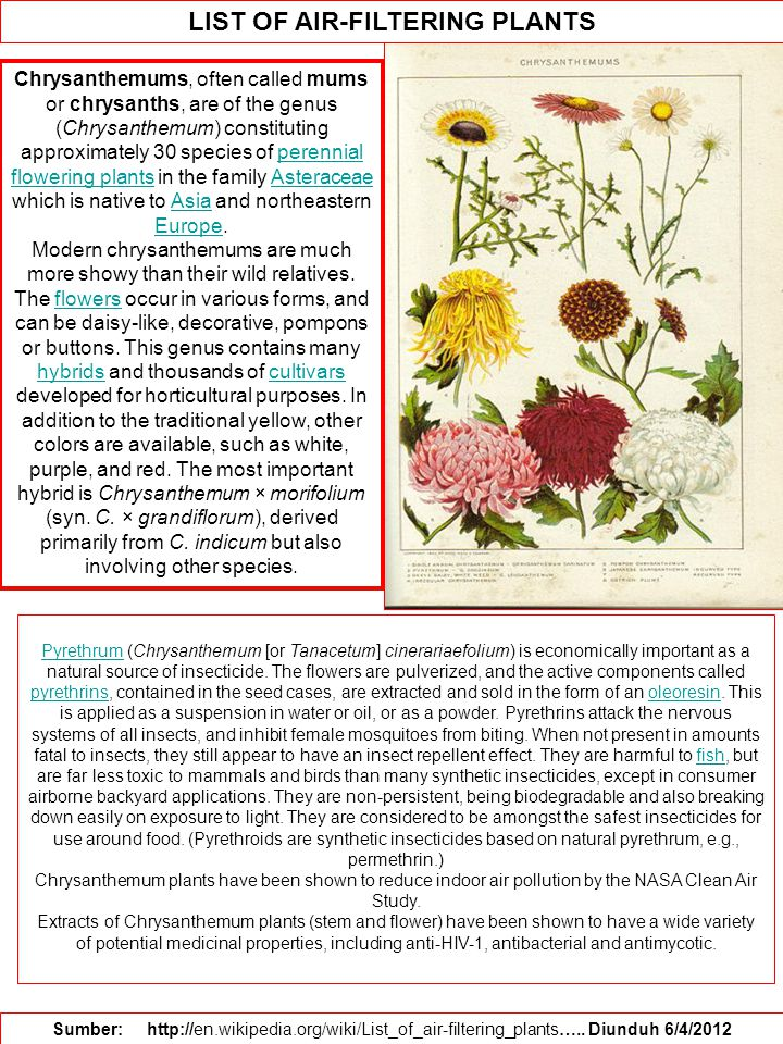 LIST OF AIR-FILTERING PLANTS Sumber: http://en.wikipedia.org/wiki/List_of_air-filtering_plants….. Diunduh 6/4/2012 Chrysanthemums, often called mums o
