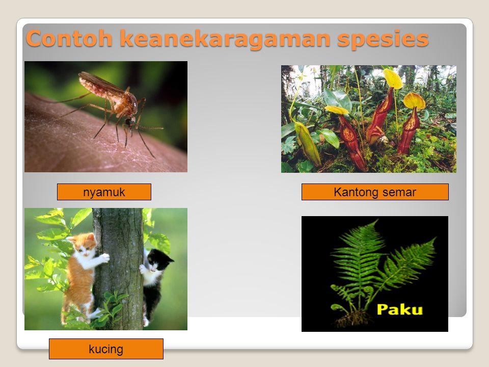 Contoh keanekaragaman spesies nyamukKantong semar kucing