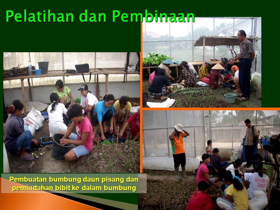 Pembuatan bumbung daun pisang dan pemindahan bibit ke dalam bumbung Pelatihan dan Pembinaan