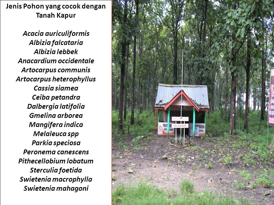 Jenis Pohon yang cocok dengan Tanah Kapur Acacia auriculiformis Albizia falcataria Albizia lebbek Anacardium occidentale Artocarpus communis Artocarpu