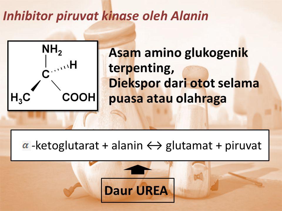 Asam amino glukogenik terpenting, Diekspor dari otot selama puasa atau olahraga -ketoglutarat + alanin ↔ glutamat + piruvat Daur UREA Inhibitor piruva