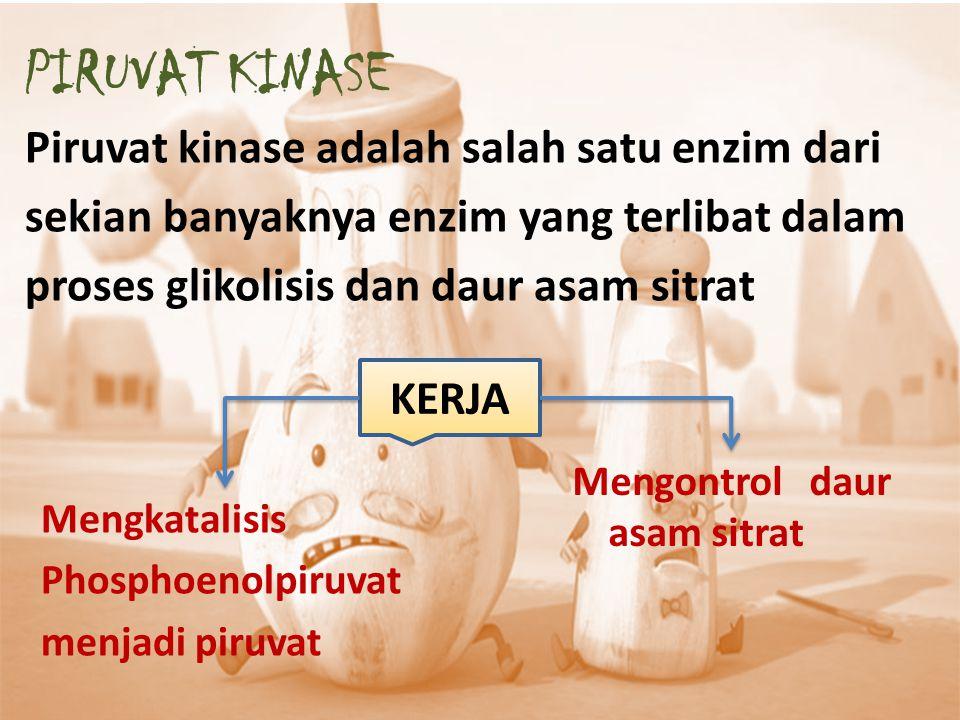  Piruvat kinase merupakan enzim yang memiliki struktur protein tetramer  Reaksi terakhir glikolisis, menghasilkan piruvat dan ATP  Transfer gugus fosforil dari fosfoenolpiruvat ke ADP yang irreversibel dikatalisis enzim ini  Enzim piruvat kinase ini dapat diinhibisi oleh konsentrasi ATP dan juga alanin PIRUVAT KINASE