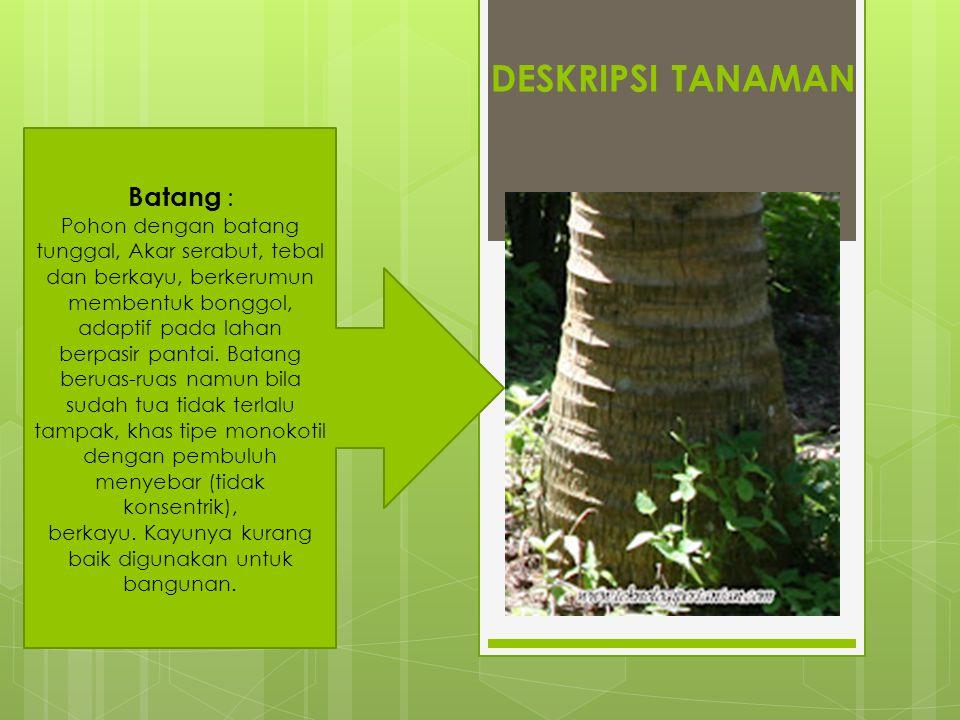 DESKRIPSI TANAMAN Batang : Pohon dengan batang tunggal, Akar serabut, tebal dan berkayu, berkerumun membentuk bonggol, adaptif pada lahan berpasir pan