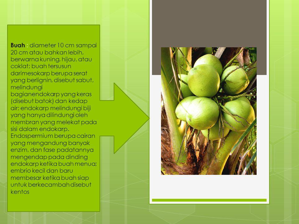 Buah : diameter 10 cm sampai 20 cm atau bahkan lebih, berwarna kuning, hijau, atau coklat; buah tersusun darimesokarp berupa serat yang berlignin, dis