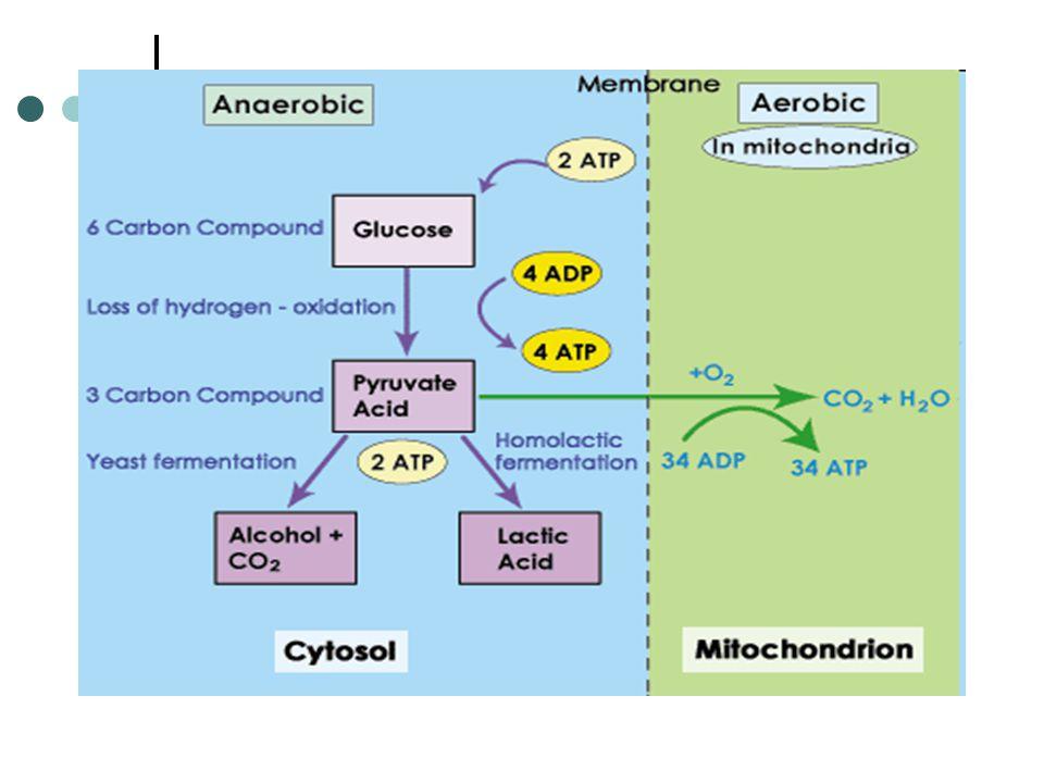 Siklus Krebs dan fosforilasi oksidatif menye babkan pyruvat yang tersisa dirubah secara fermentatif menjadi ethanol.