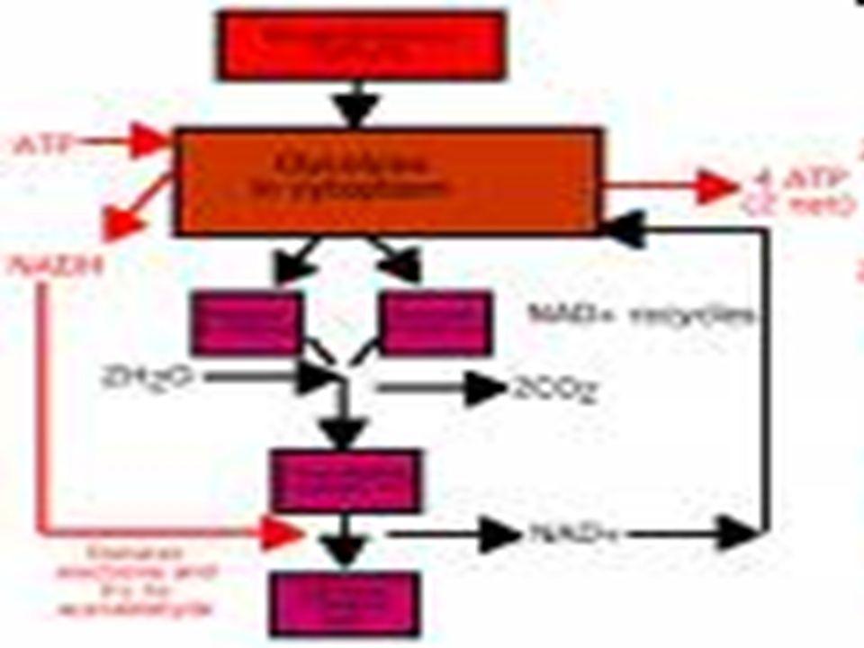Contoh produk fermentasi ASAM Fermentasi Asam Laktat Fermentasi asam laktat banyak terjadi pada susu.