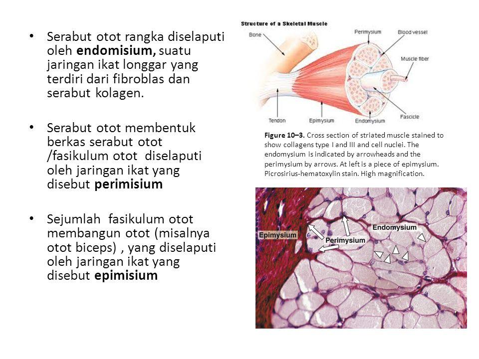 Serabut otot rangka diselaputi oleh endomisium, suatu jaringan ikat longgar yang terdiri dari fibroblas dan serabut kolagen. Serabut otot membentuk be