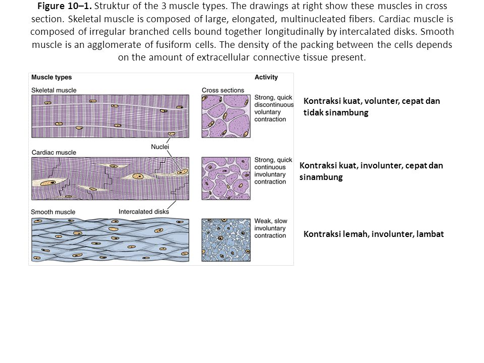 Figure 10–1. Struktur of the 3 muscle types. The drawings at right show these muscles in cross section. Skeletal muscle is composed of large, elongate