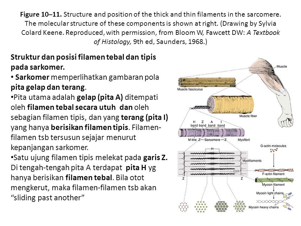 Membran plasma serabut otot disebut sarkolema dan retikulum endoplasmiknya disebut retikulum sarkoplasmik.