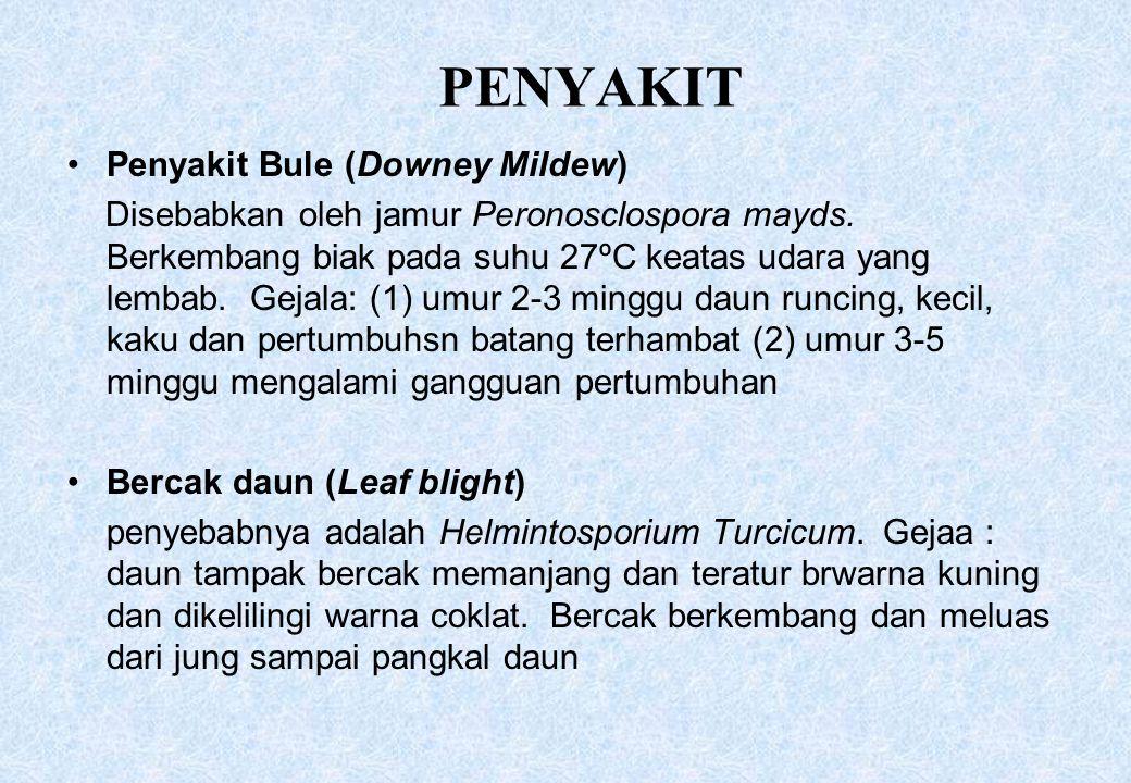 PENYAKIT Penyakit Bule (Downey Mildew) Disebabkan oleh jamur Peronosclospora mayds. Berkembang biak pada suhu 27ºC keatas udara yang lembab. Gejala: (