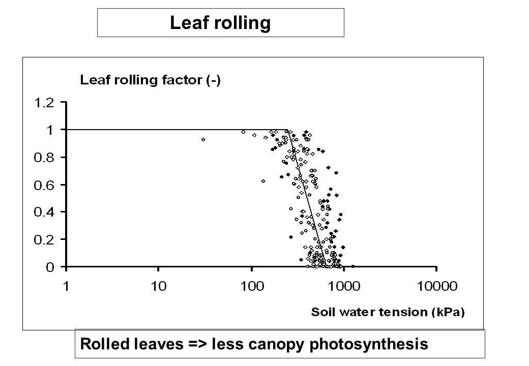 Rolled leaves => less canopy photosynthesis Leaf rolling
