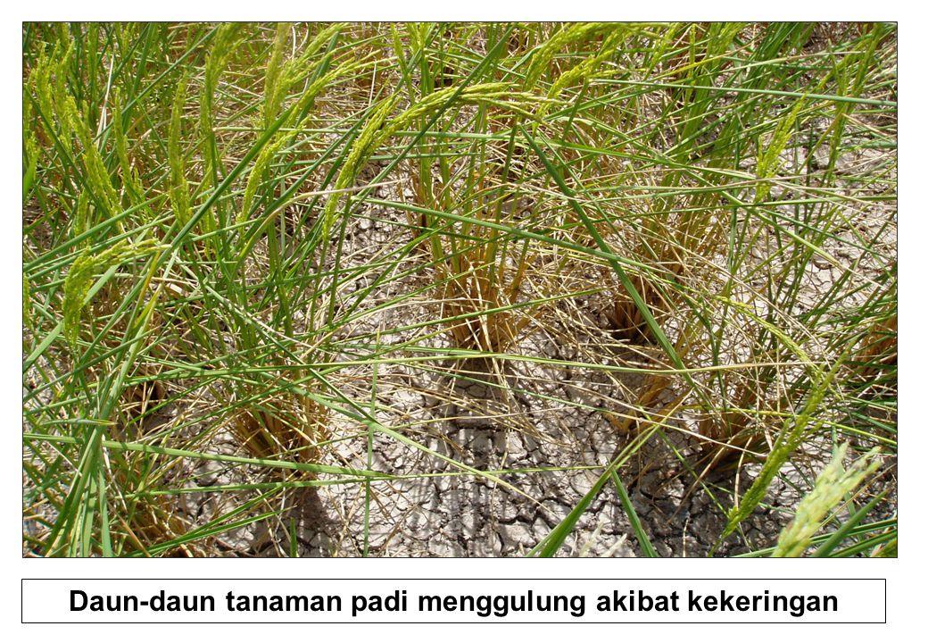 Daun-daun tanaman padi menggulung akibat kekeringan