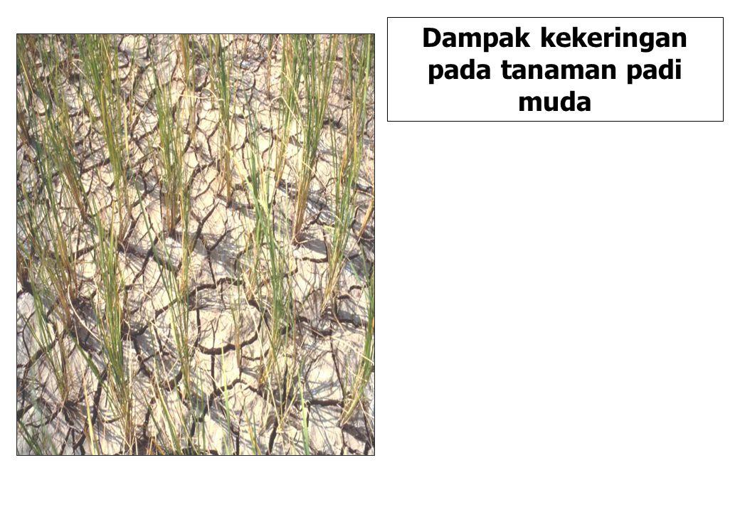 Dampak kekeringan pada tanaman padi muda