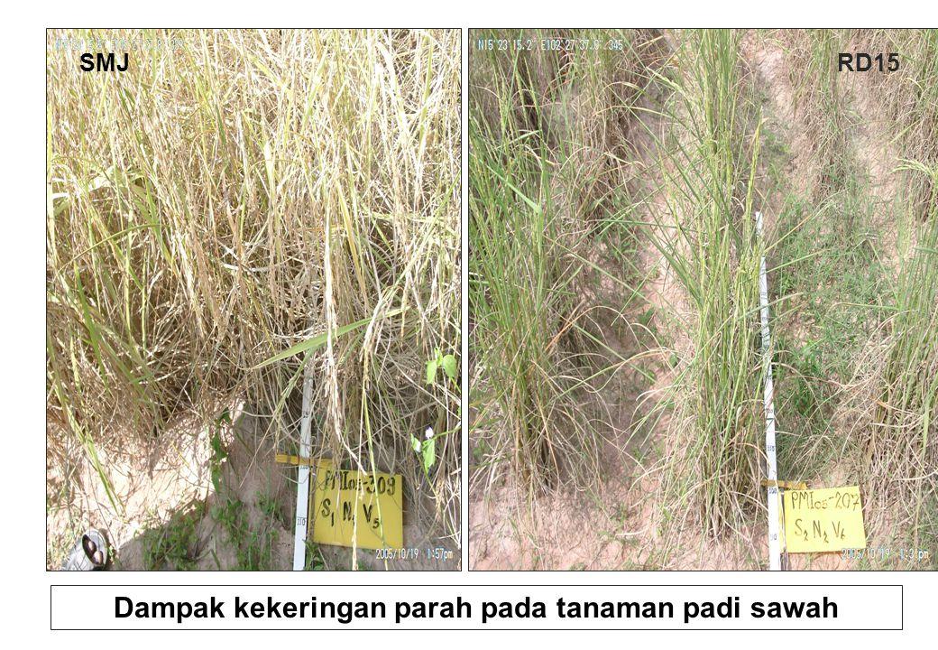 SMJRD15 Dampak kekeringan parah pada tanaman padi sawah