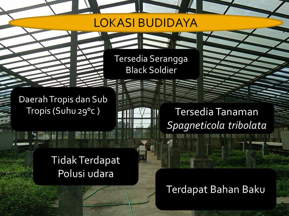 LOKASI BUDIDAYA Tersedia Serangga Black Soldier Daerah Tropis dan Sub Tropis (Suhu 29 o c ) Tersedia Tanaman Spagneticola tribolata Tidak Terdapat Polusi udara Terdapat Bahan Baku
