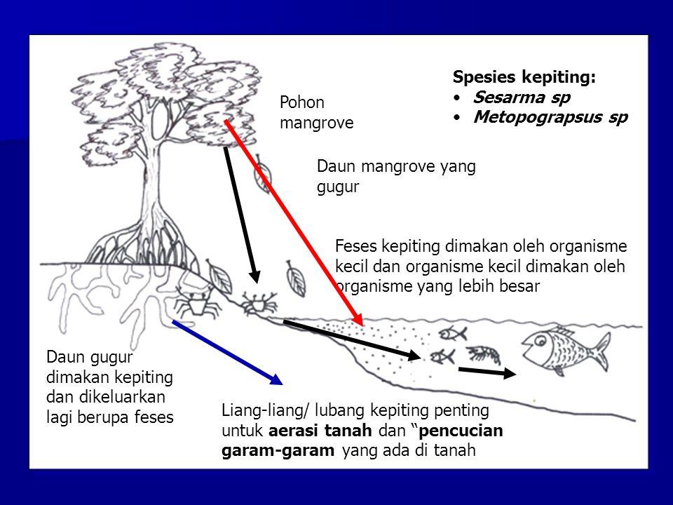 Pohon mangrove Daun gugur dimakan kepiting dan dikeluarkan lagi berupa feses Feses kepiting dimakan oleh organisme kecil dan organisme kecil dimakan o