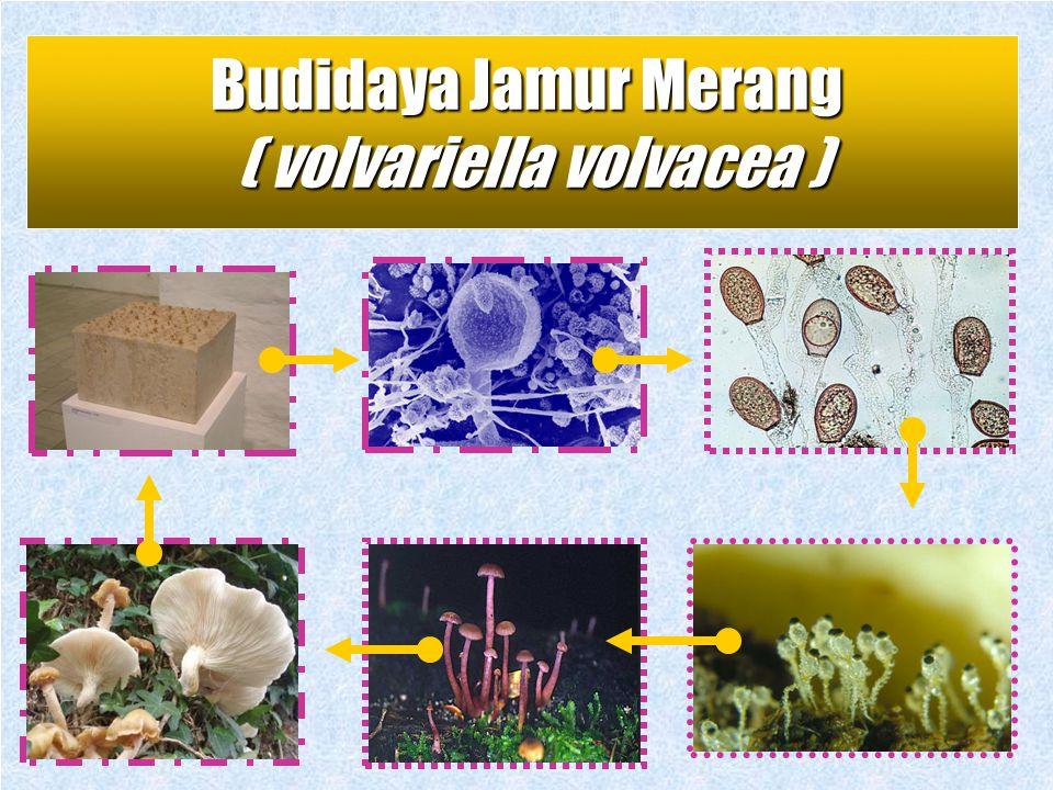 VOLVARIELLA VOLVACEA ( Jamur Merang ) Membudidayakan jamur untuk dikonsumsi Membudidayakan jamur untuk dikonsumsi