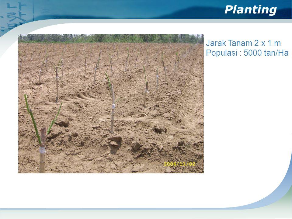 Planting Jarak Tanam 2 x 1 m Populasi : 5000 tan/Ha