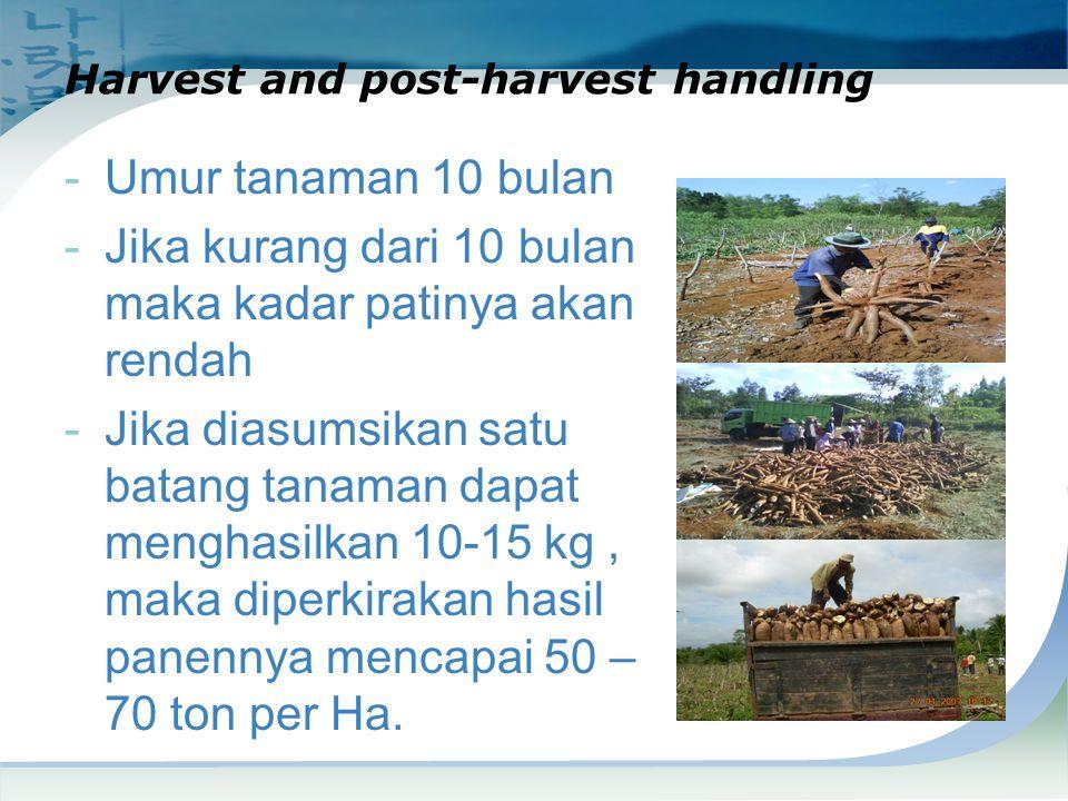 Harvest and post-harvest handling -Umur tanaman 10 bulan -Jika kurang dari 10 bulan maka kadar patinya akan rendah -Jika diasumsikan satu batang tanam