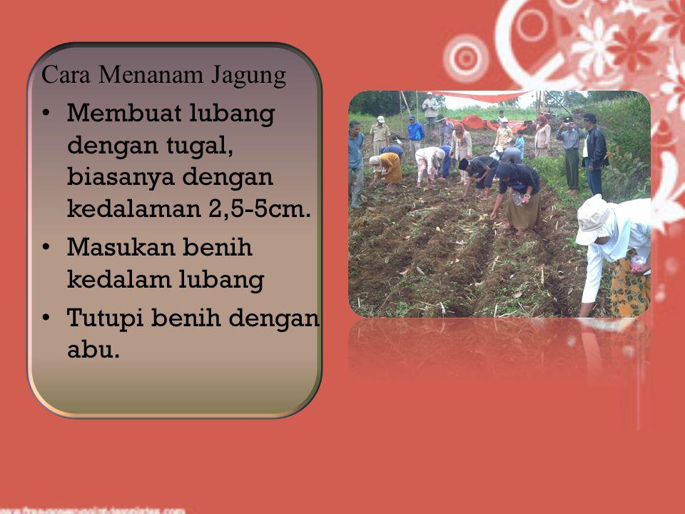 Cara Menanam Jagung Membuat lubang dengan tugal, biasanya dengan kedalaman 2,5-5cm. Masukan benih kedalam lubang Tutupi benih dengan abu.