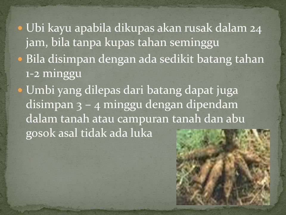 Ubi kayu apabila dikupas akan rusak dalam 24 jam, bila tanpa kupas tahan seminggu Bila disimpan dengan ada sedikit batang tahan 1-2 minggu Umbi yang d