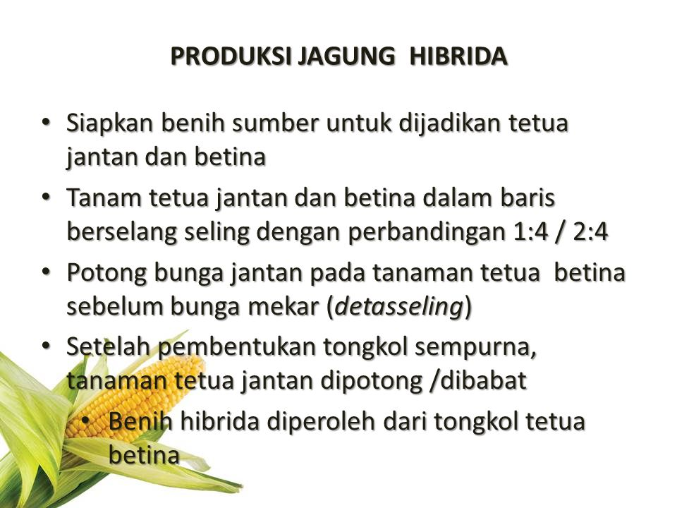PRODUKSI JAGUNG HIBRIDA Siapkan benih sumber untuk dijadikan tetua jantan dan betina Siapkan benih sumber untuk dijadikan tetua jantan dan betina Tana