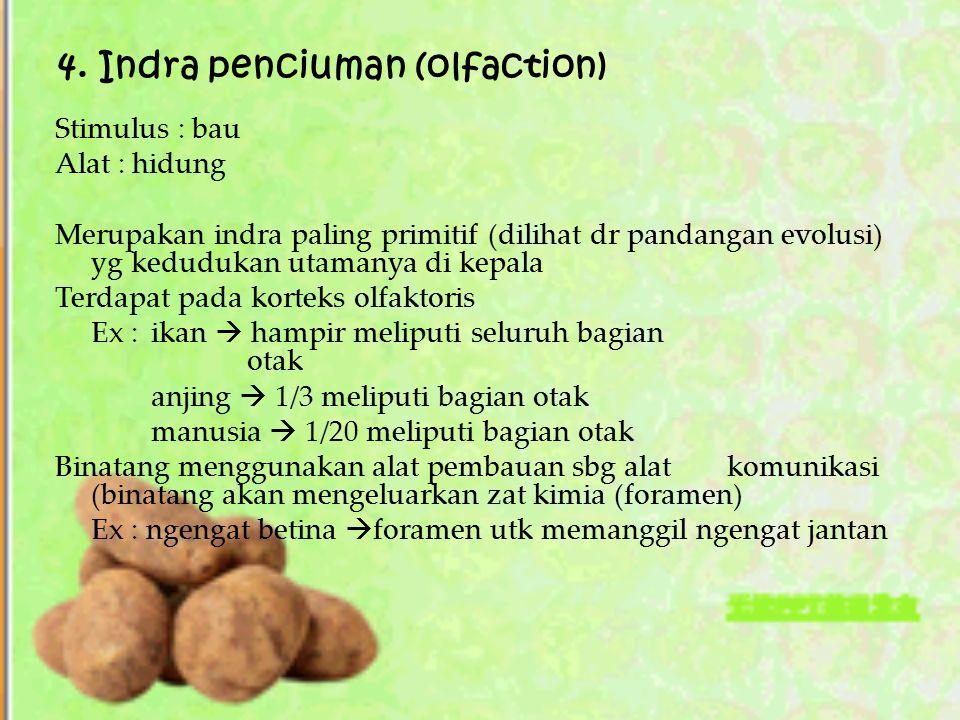 4. Indra penciuman (olfaction) Stimulus : bau Alat : hidung Merupakan indra paling primitif (dilihat dr pandangan evolusi) yg kedudukan utamanya di ke