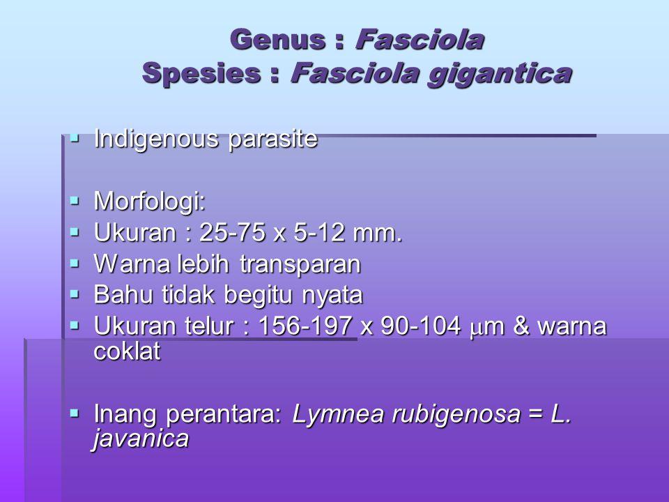  Indigenous parasite  Morfologi:  Ukuran : 25-75 x 5-12 mm.  Warna lebih transparan  Bahu tidak begitu nyata  Ukuran telur : 156-197 x 90-104 