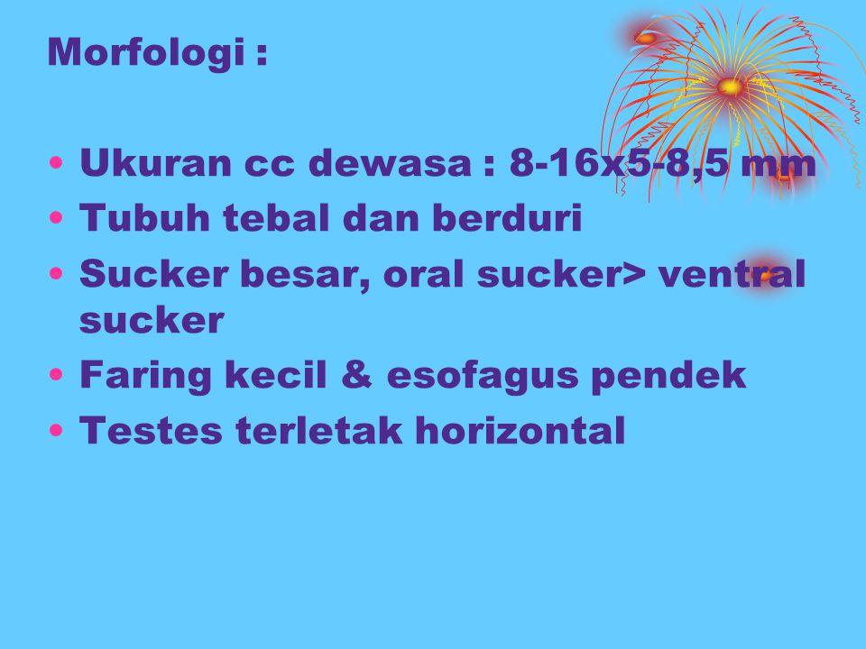 Morfologi : Ukuran cc dewasa : 8-16x5-8,5 mm Tubuh tebal dan berduri Sucker besar, oral sucker> ventral sucker Faring kecil & esofagus pendek Testes t