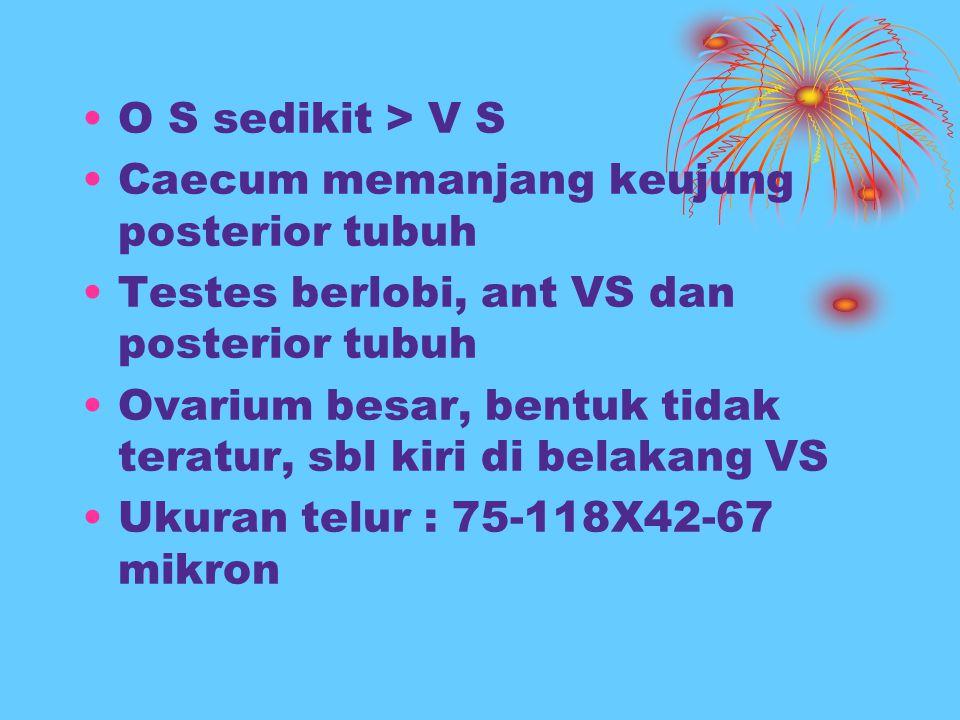 O S sedikit > V S Caecum memanjang keujung posterior tubuh Testes berlobi, ant VS dan posterior tubuh Ovarium besar, bentuk tidak teratur, sbl kiri di