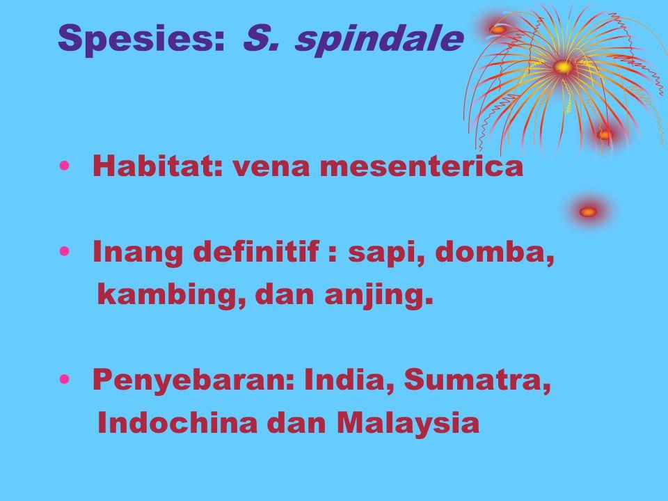 Spesies: S. spindale Habitat: vena mesenterica Inang definitif : sapi, domba, kambing, dan anjing. Penyebaran: India, Sumatra, Indochina dan Malaysia