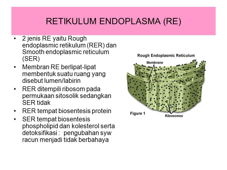 RETIKULUM ENDOPLASMA (RE) 2 jenis RE yaitu Rough endoplasmic retikulum (RER) dan Smooth endoplasmic reticulum (SER) Membran RE berlipat-lipat membentu