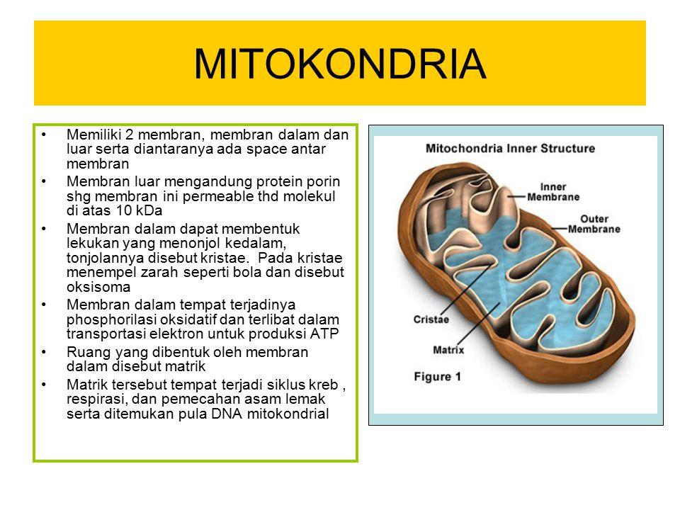 MITOKONDRIA Memiliki 2 membran, membran dalam dan luar serta diantaranya ada space antar membran Membran luar mengandung protein porin shg membran ini