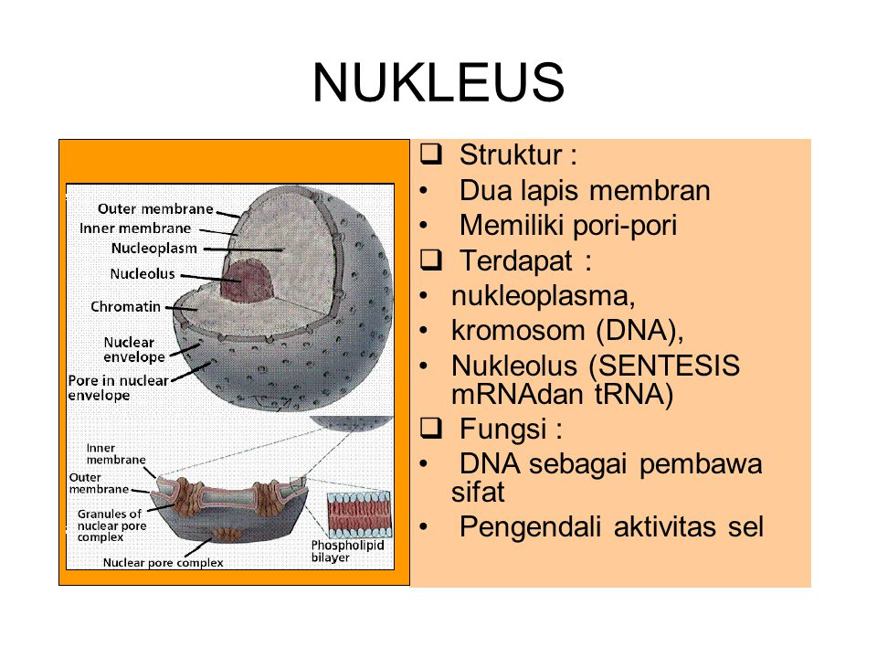 NUKLEUS  Struktur : Dua lapis membran Memiliki pori-pori  Terdapat : nukleoplasma, kromosom (DNA), Nukleolus (SENTESIS mRNAdan tRNA)  Fungsi : DNA
