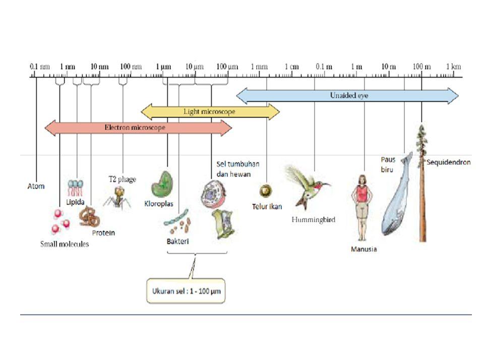 ORGANEL YG TERDAPAT PADA SITOSOL EUKARYOTIK Retikulum endoplasma, Mitokondria, Badan Golgi, Kloroplas, Nukleus, Lisosom, Peroksisom, Vakuola.