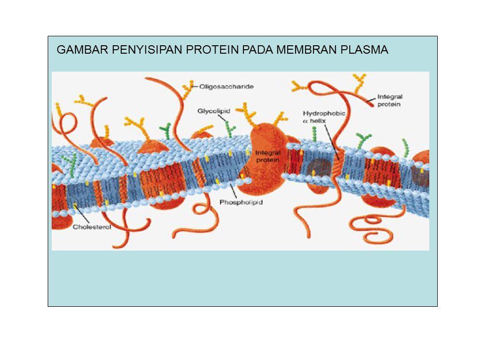 FUNGSI MEMBRAN PLASMA Mengisolasi komponen dalam sel dengan lingkungan, Mengatur pergerakan materi dari dan ke dalam sel (endositosis dan eksositosis) Memungkinkan komunikasi dengan sel lain (hormon, neurotransmitters,dll) Mempertahankan tek.osmotik dan komposisi ionik cairan sitosol