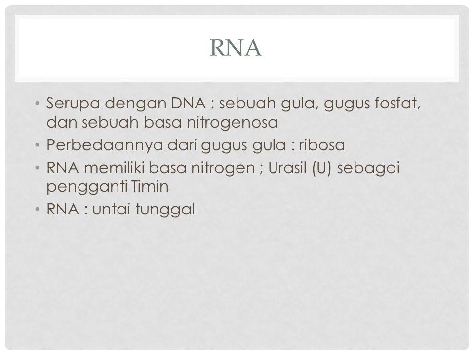 RNA Serupa dengan DNA : sebuah gula, gugus fosfat, dan sebuah basa nitrogenosa Perbedaannya dari gugus gula : ribosa RNA memiliki basa nitrogen ; Uras