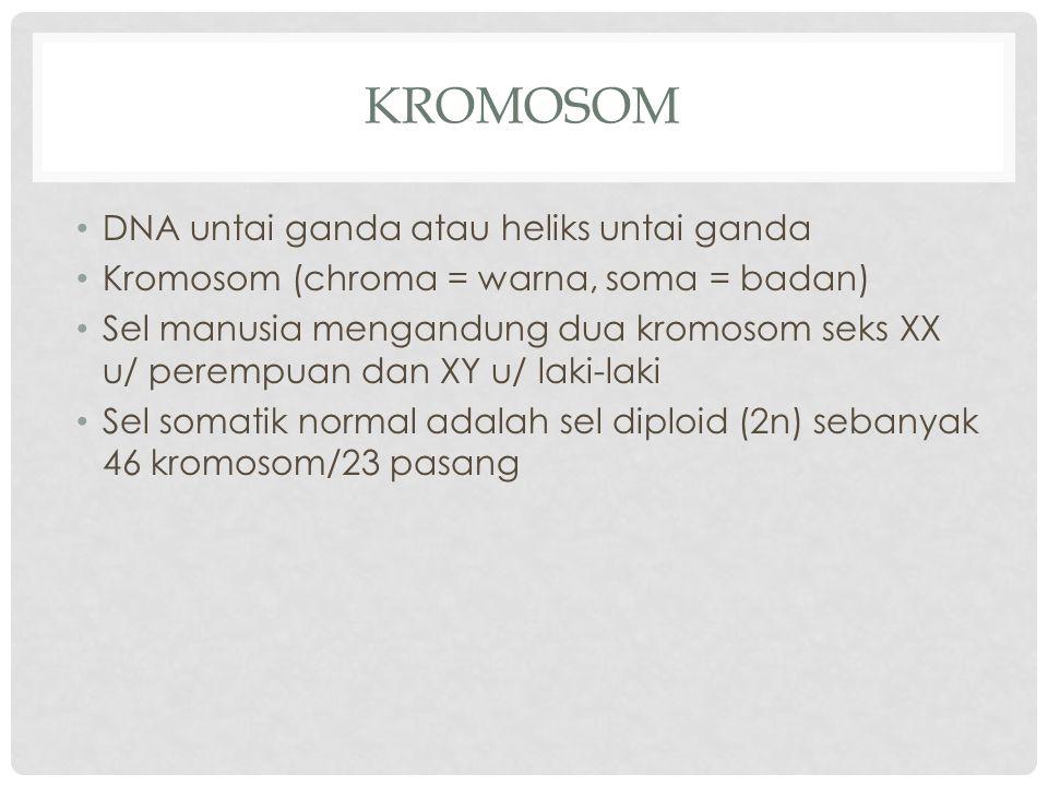 KROMOSOM DNA untai ganda atau heliks untai ganda Kromosom (chroma = warna, soma = badan) Sel manusia mengandung dua kromosom seks XX u/ perempuan dan