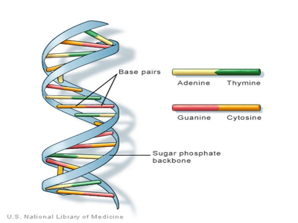 RNA Serupa dengan DNA : sebuah gula, gugus fosfat, dan sebuah basa nitrogenosa Perbedaannya dari gugus gula : ribosa RNA memiliki basa nitrogen ; Urasil (U) sebagai pengganti Timin RNA : untai tunggal