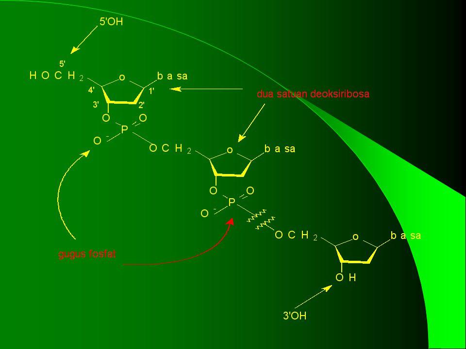 STRUKTUR DNA Penyusun DNA adalah rantai panjang molekul deoksiribosa gula yang diikat Menjadi satu oleh gugus fosfat. Tiap molekul gula dihubungkan ke