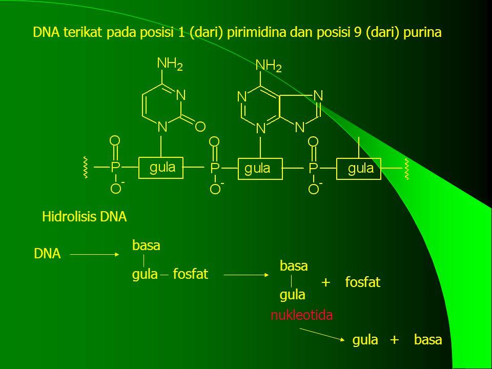 DNA terikat pada posisi 1 (dari) pirimidina dan posisi 9 (dari) purina Hidrolisis DNA DNA basa gulafosfat basa gula fosfat+ nukleotida gulabasa+