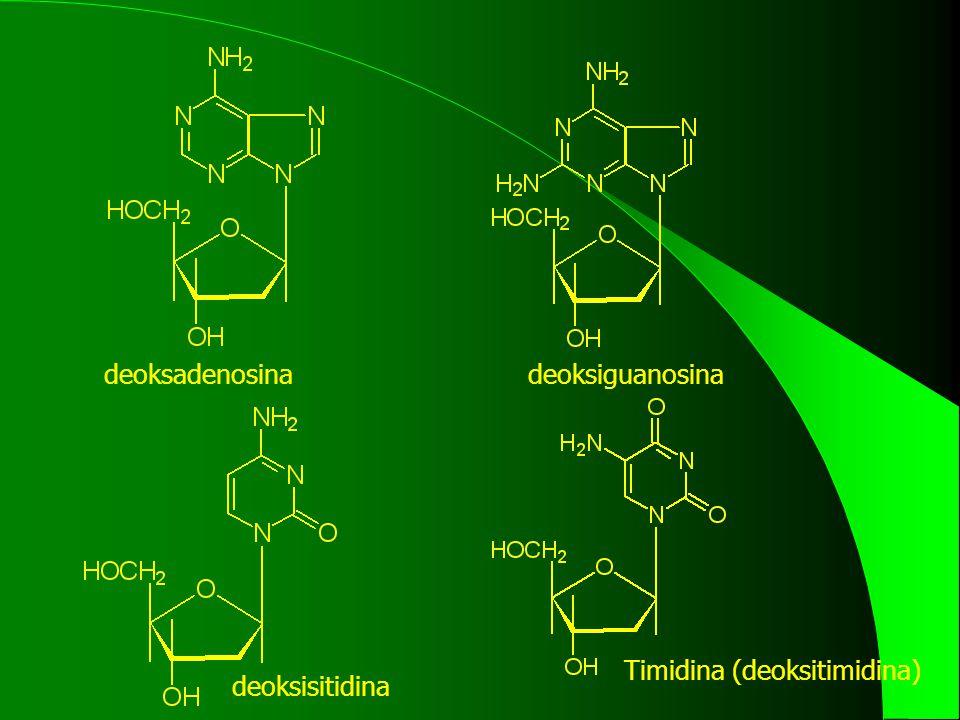 deoksadenosinadeoksiguanosina deoksisitidina Timidina (deoksitimidina)