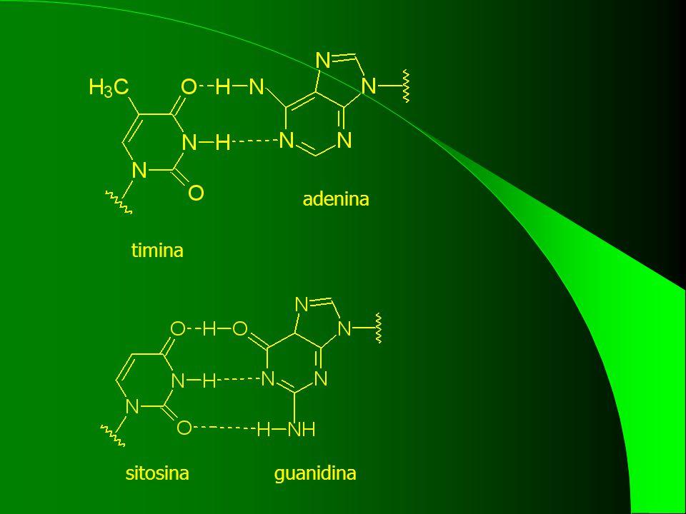 timina adenina sitosinaguanidina