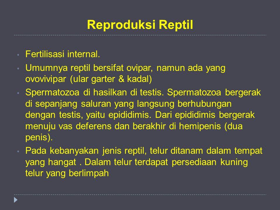 Reproduksi Reptil Fertilisasi internal. Umumnya reptil bersifat ovipar, namun ada yang ovovivipar (ular garter & kadal) Spermatozoa di hasilkan di tes
