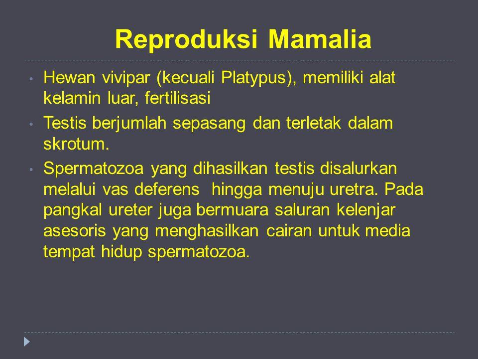 Reproduksi Mamalia Hewan vivipar (kecuali Platypus), memiliki alat kelamin luar, fertilisasi Testis berjumlah sepasang dan terletak dalam skrotum. Spe