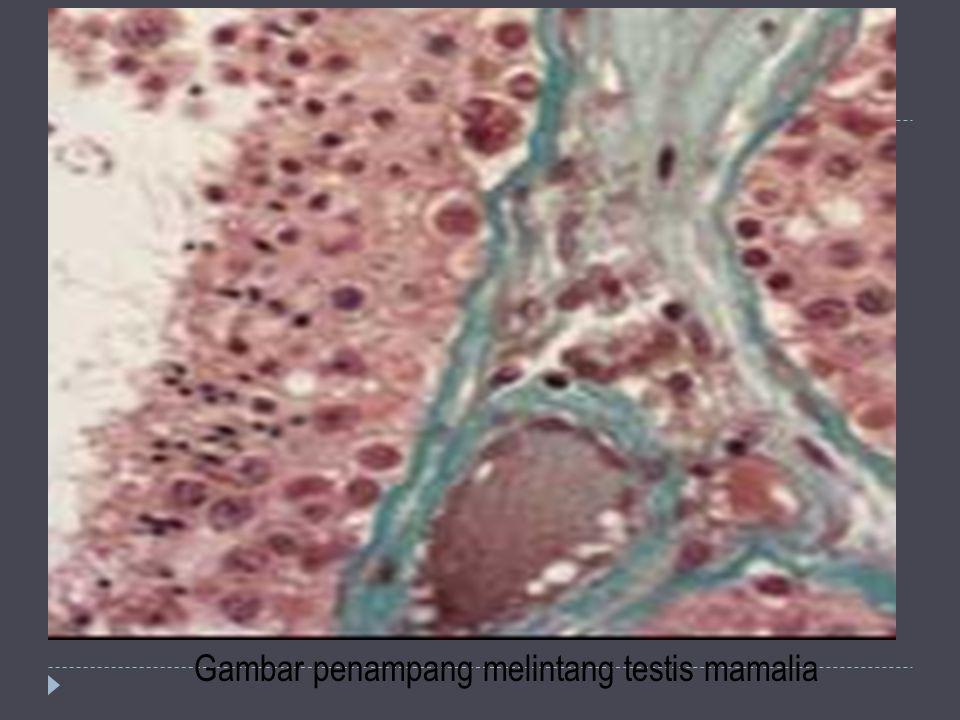 Gambar penampang melintang testis mamalia