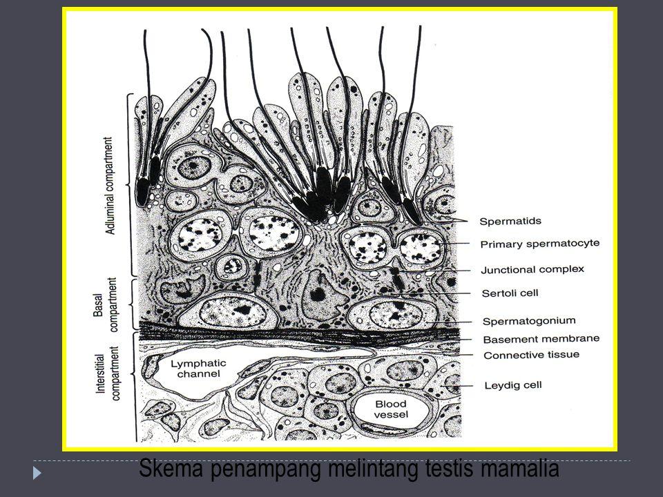 Skema penampang melintang testis mamalia