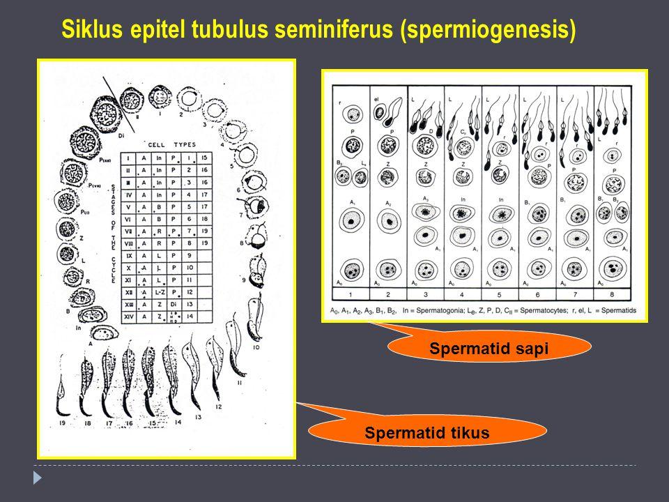 Siklus epitel tubulus seminiferus (spermiogenesis) Spermatid tikus Spermatid sapi